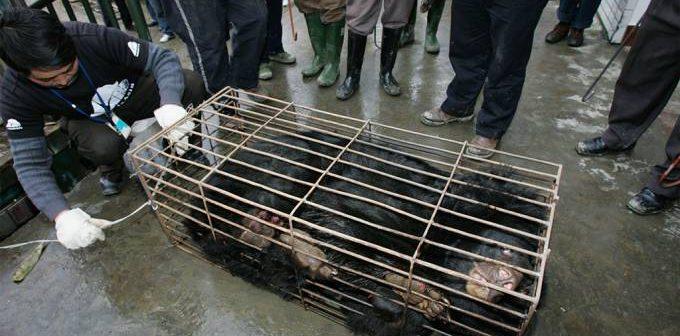 China aprova bile de urso como tratamento para Covid-19
